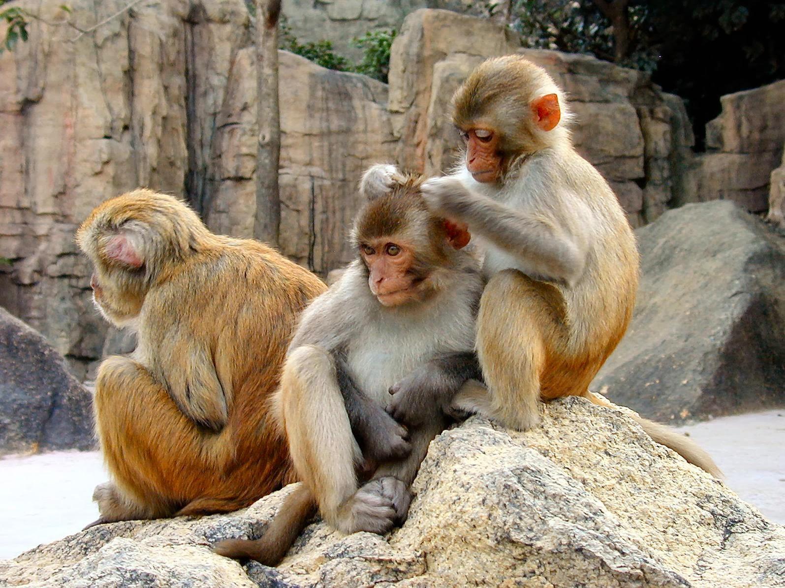 Three Monkeys Sitting Rock Wallpaper