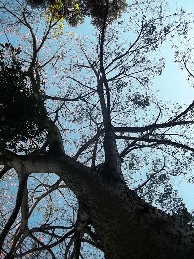 Paineira, árvore, céu, meio ambiente