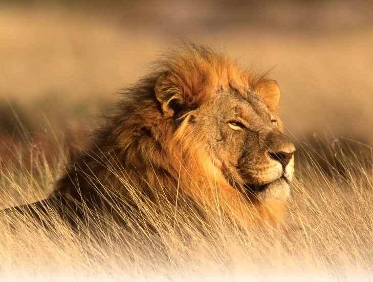 Singa, Hewan Yang Cepat