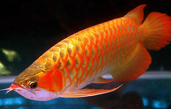 Life under the blue water arowana the royal aquarium fish for Big freshwater aquarium fish