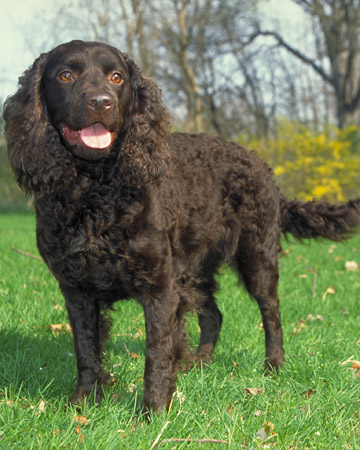 The dog in world: American Water Spaniel dogs American Water Spaniel Dogtime