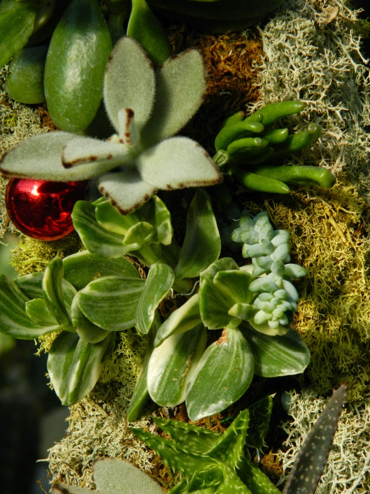 Succulent Christmas wreath detail Allan Gardens Conservatory Christmas Flower Show 2014 by garden muses-not another Toronto gardening blog