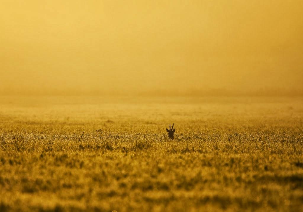Guldbock, tidig höstmorgon,,