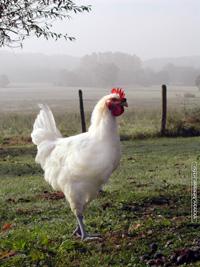 [Afbeelding: poulet-bresse-light.jpg]