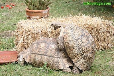 Ejemplares de la variedad gigante (pardalis somalica) durante la cópula