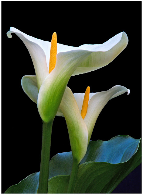 arum flower wallpaper