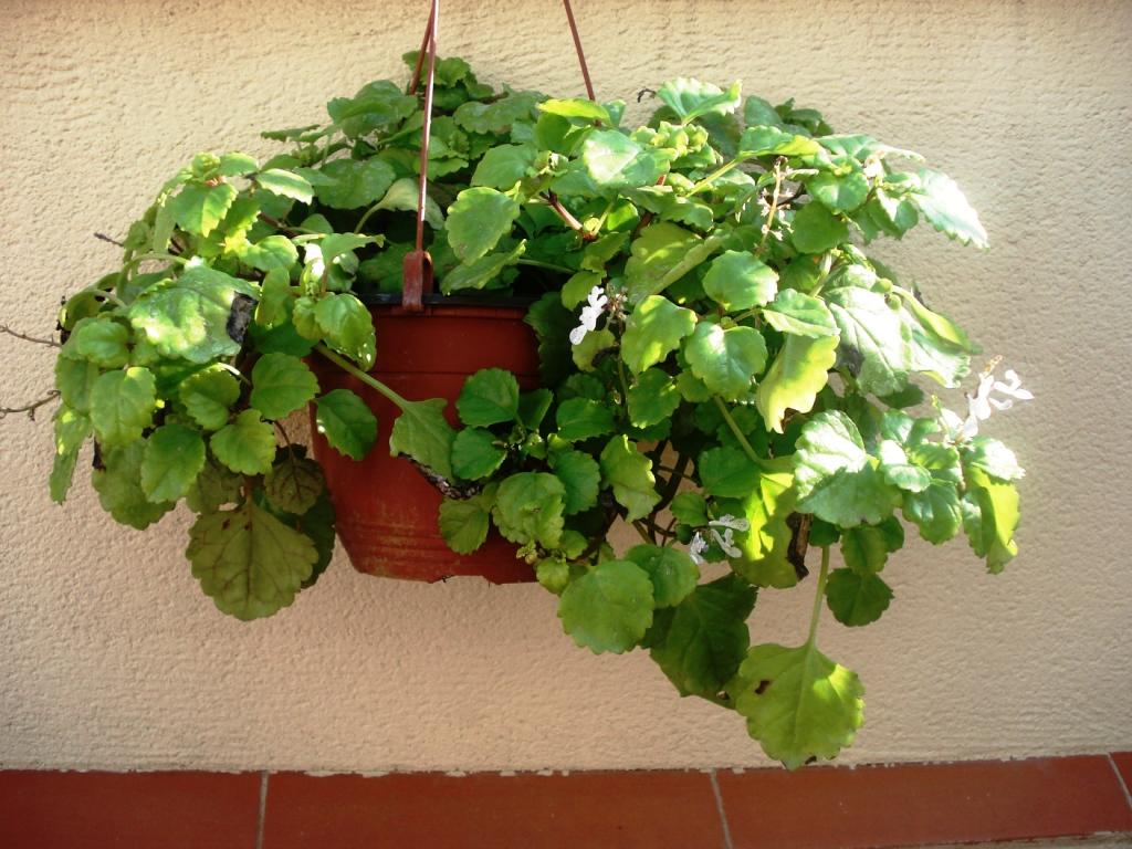 Cómo cuidar las plantas Planta-del-dinero
