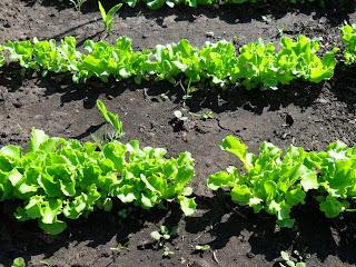 Салат не мешает кукурузе