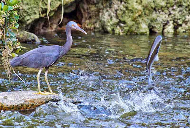 Egret, fish jumping