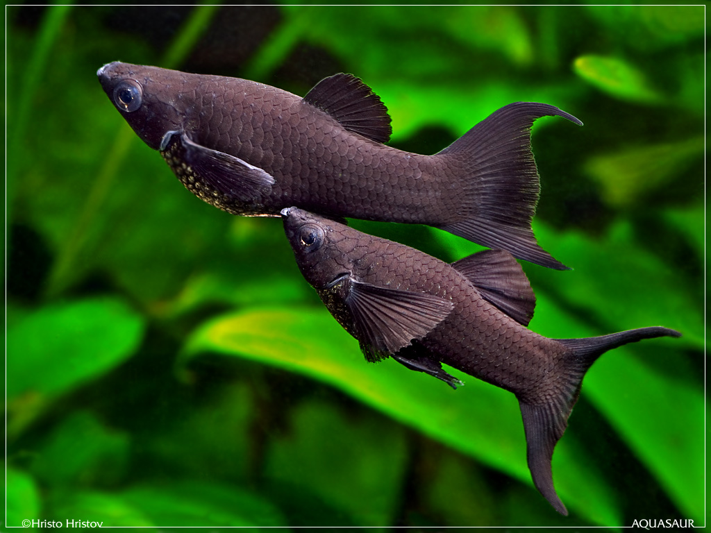 mollies the oh so common breeds like aquatic rats freshwater fish ...