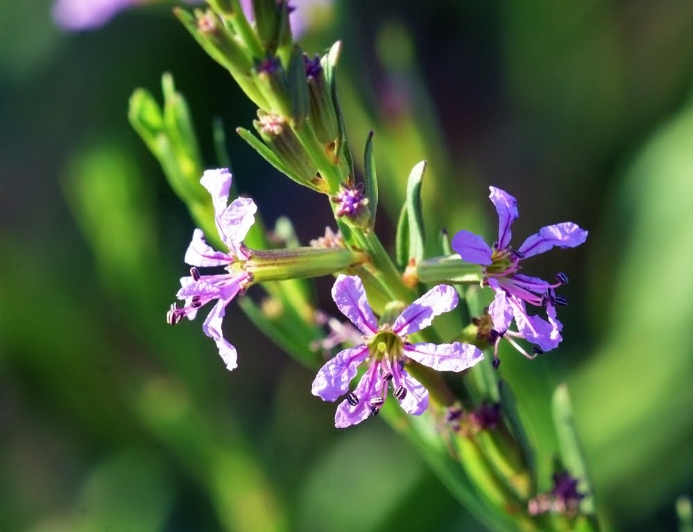 California Loosestrife, Lythrum californicum_5084