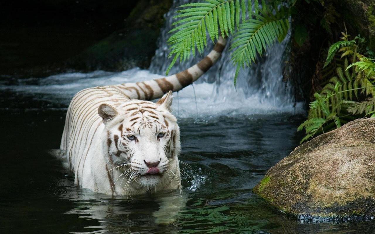 http://4.bp.blogspot.com/-bxypGg6p7-U/TZGf0q2sDDI/AAAAAAAABbY/xRBjmCYsmpc/s1600/white_tiger_beautiful-wide.jpg