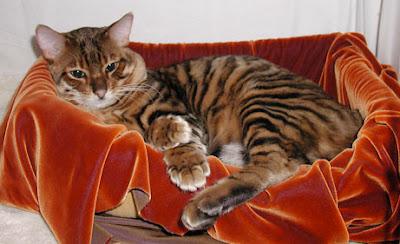 แมวทอยเกอร์