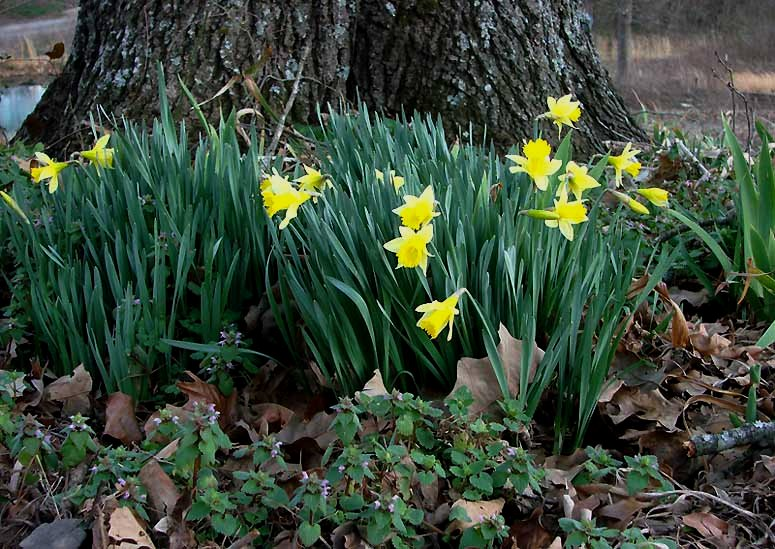 daffodils poem. A host, of golden daffodils;