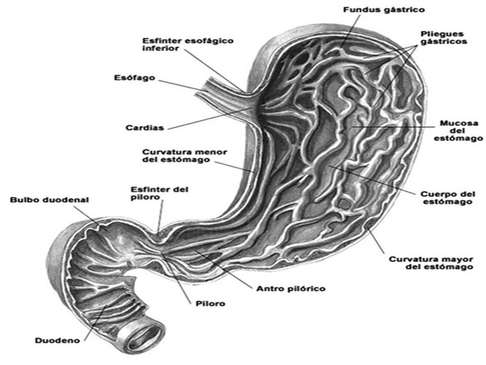 Famoso Anatomía Ganado Estómago Foto - Imágenes de Anatomía Humana ...