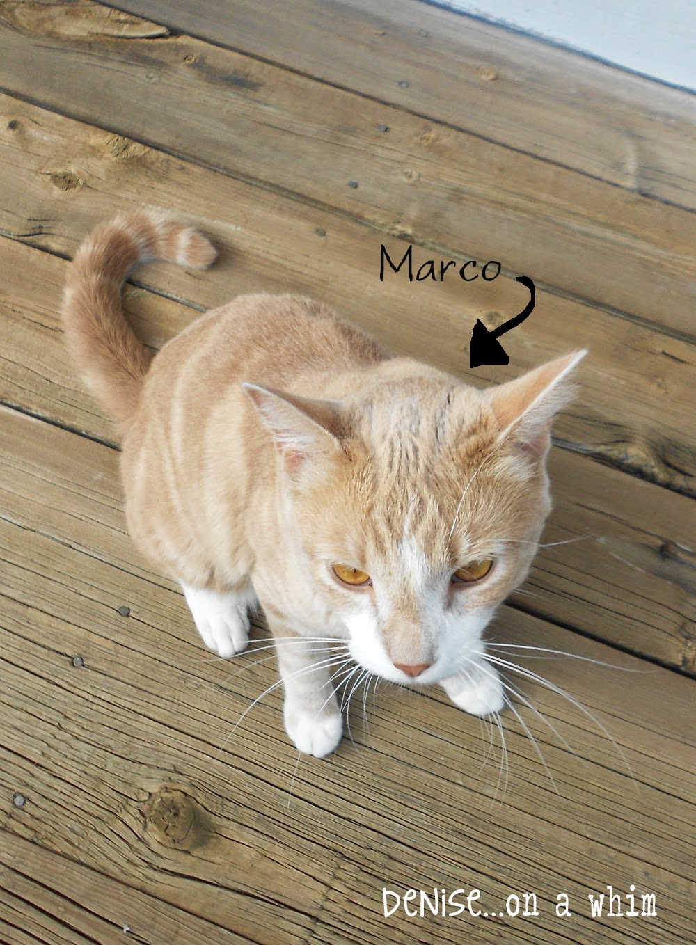 Marco the Cat at Denise on a Whim