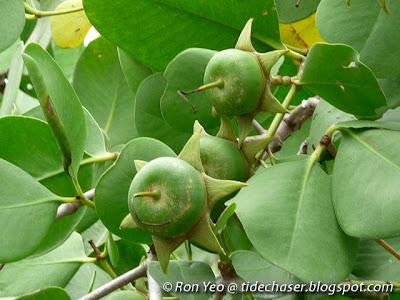 Perepat (Sonneratia alba)