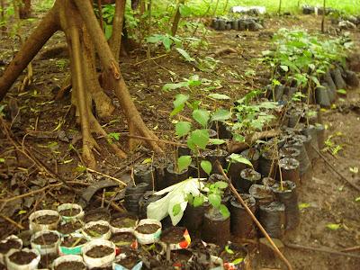 mahogany planting Nicaragua