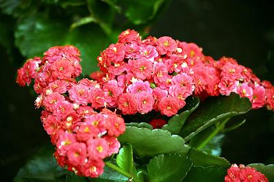 Kalanchoe Blossfeldiana Flowers Pictures
