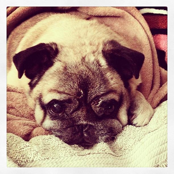 bebop pugman, old pug