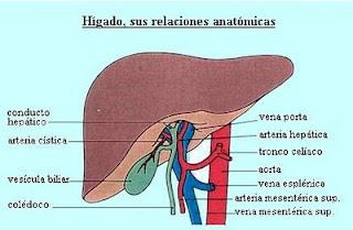DIBUJO DEL HIGADO Y SUS PARTES