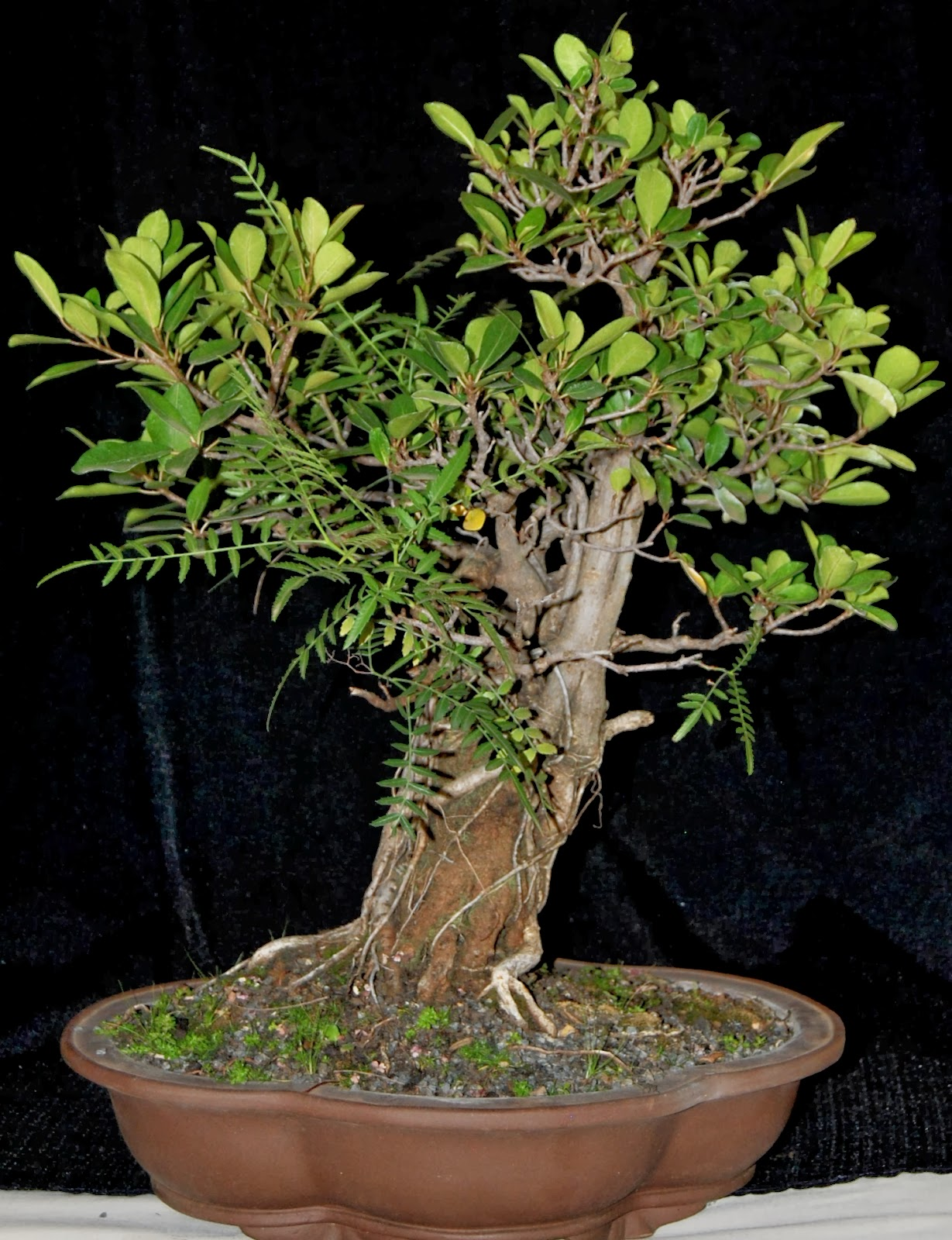The Strangler Style By Mack Boshoff LENNARD39S BONSAI BEGINNINGS