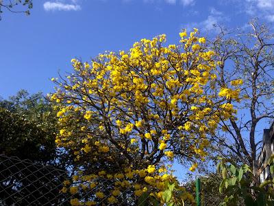 Ipê amarelo na cidade de Goiânia abre em flores amarelas.