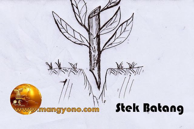 Gambar 2 : Stek batang Bunga Puring. Gambar coretan admin... Keren ya... Hehe
