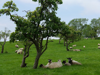 Sheep in an old orchard above Chipping Campden, Cotswolds