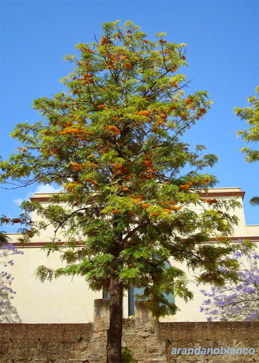 Parquealamillo encinarosa roble australiano grevillea for Vivero del parque