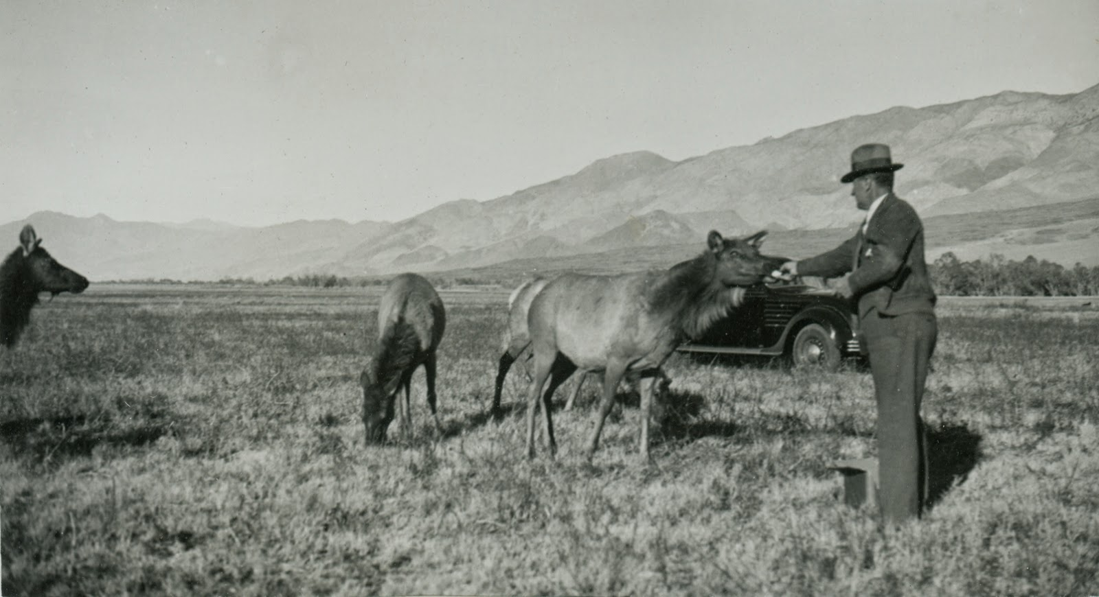 by 1943 the number of tule elk quadrupled and they seemed destine to recover walter dow was inspired the los angeles times quoted dow as saying