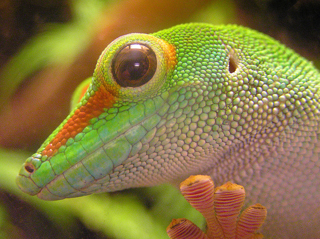 The gecko is an extraordinary lizard, a triumph of both adaptation and diversity.  Out of the 5,600 species of lizard on the planet, over 1,...