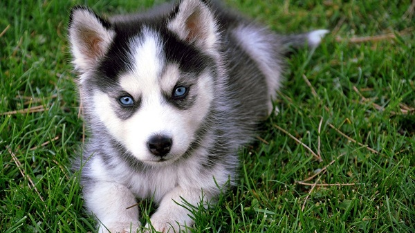 Siberian Husky With Blue And Brown Eyes Siberian husky puppies with
