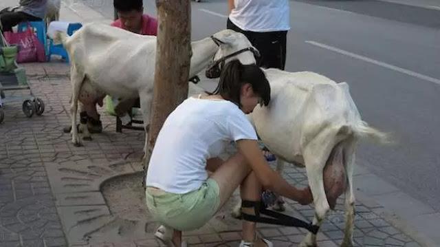 Pasutri Penjual Susu Langsung Dari Kambing