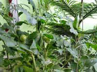 Asyiknya Memetik Sendiri Sayuran di Kebun Sendiri