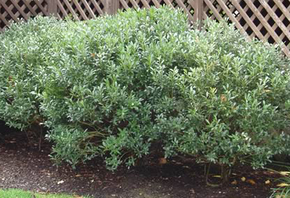 Inkberry Holly Hedge