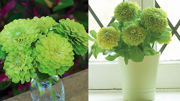 Green Wedding Zinnias