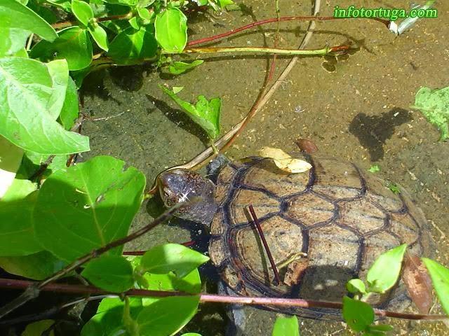 Tortuga escorpión en un estanque al aire libre