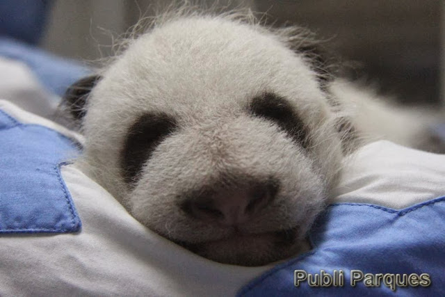 cría de oso panda nacida en Zoo Aquarium de Madrid