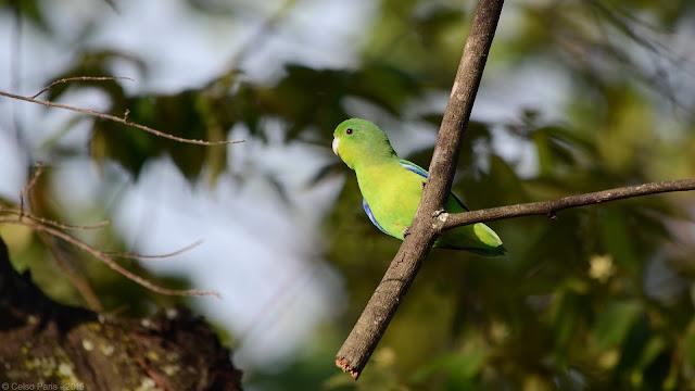 Blue-winged Parrotlet Forpus crassirostris vividus Tuim Catita Enana