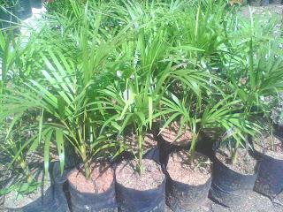 tanaman palem kuning untuk taman