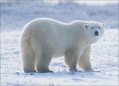 beruang kutub di unik-qu.blogspot.com