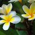 7 Rahasia Manfaat Dibalik Bunga Kamboja