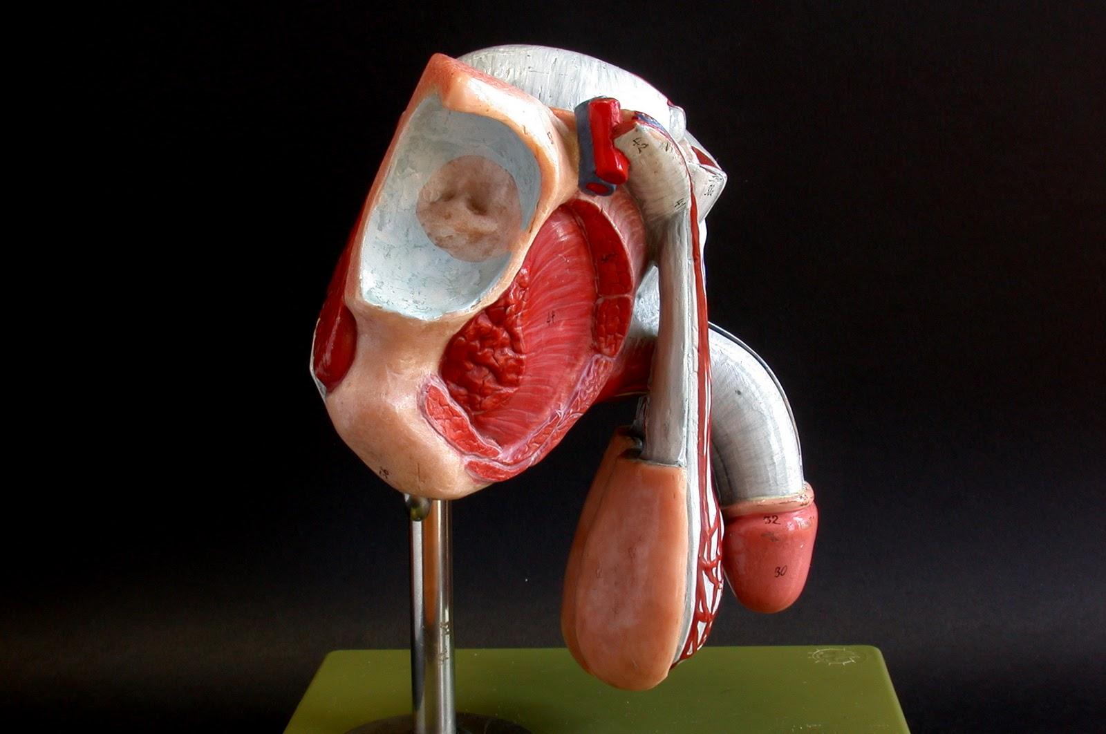 LA VOZ DE SEXTO: El aparato reproductor masculino.