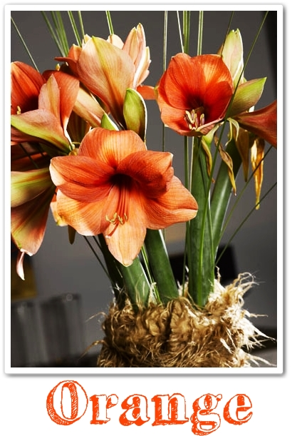 orange ammaryllis, amaryllis