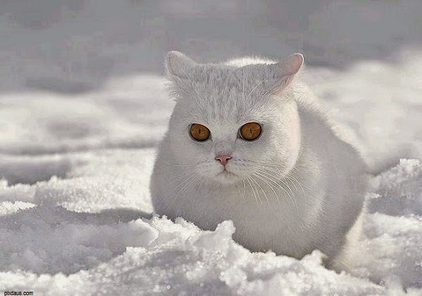 Adorable Photo Chat blanc mignon dans la neige