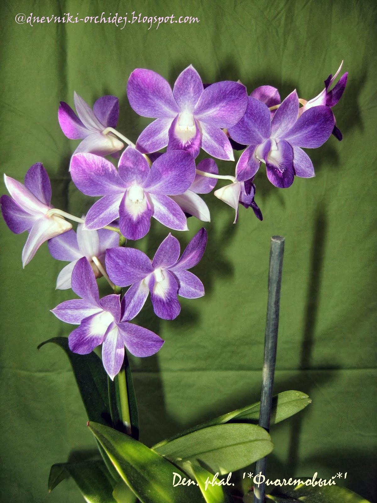 Как цветет дендробиум фаленопсис Фиолетовый