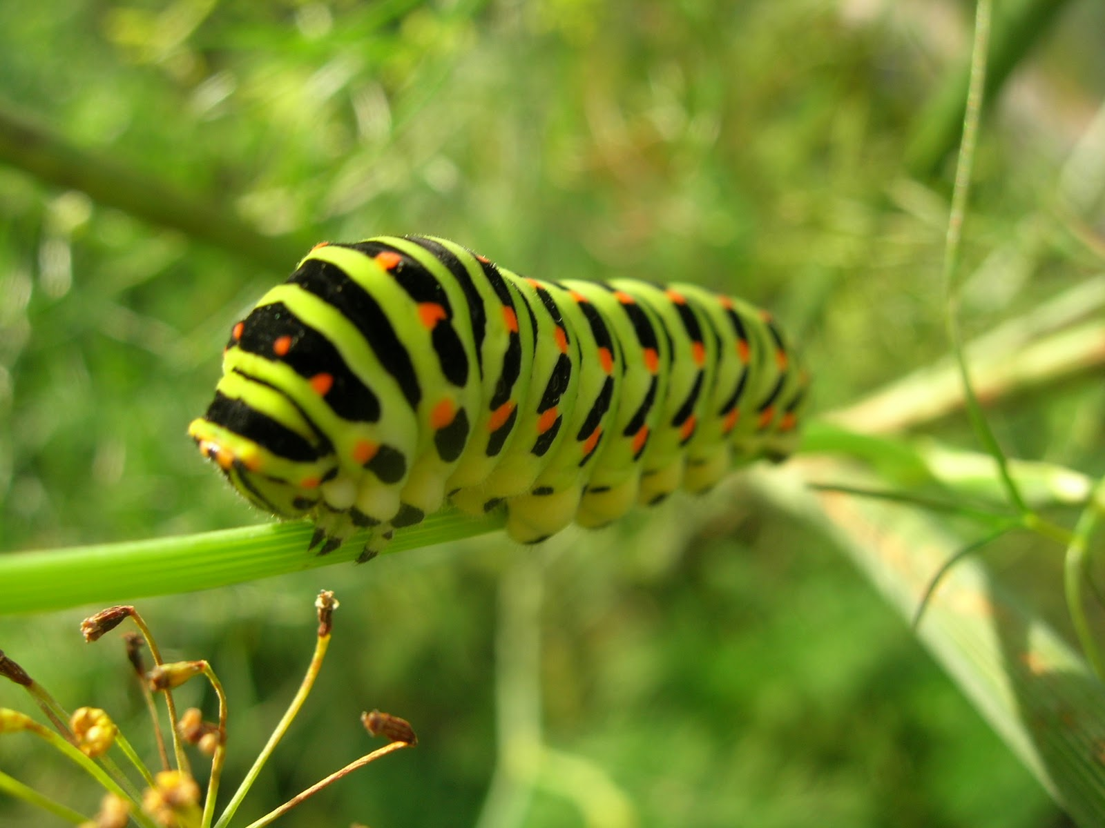 from a caterpillar to a butterfly Raising painted lady butterflies this is the live butterfly kit -: shipped with 5 painted lady caterpillars that i purchased a few years back each year since my initial purchase, i have just purchase the 5 live caterpillars kit refill .
