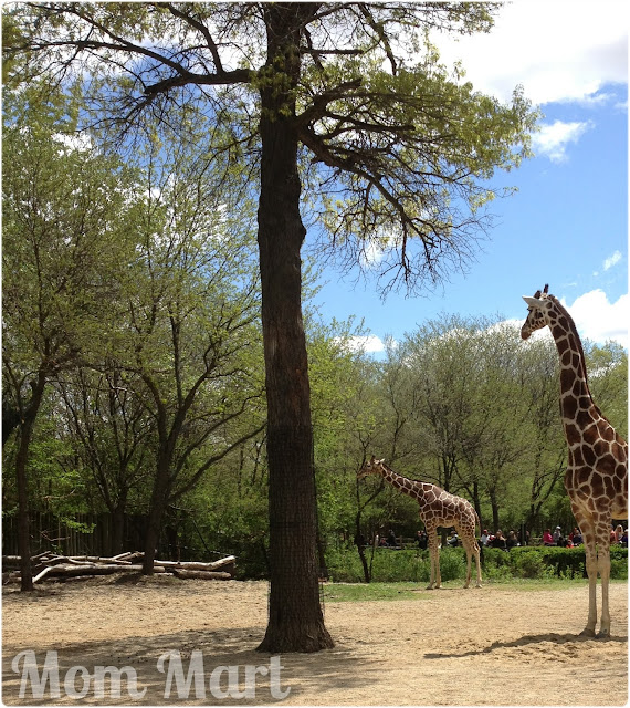 Giraffes at the Brookfield Zoo with the boys