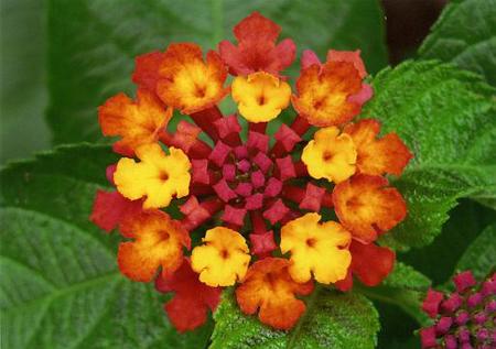 fiori gialli o rossi